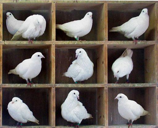 Too Many Pigeons